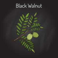 Eastern black walnut Juglans nigra