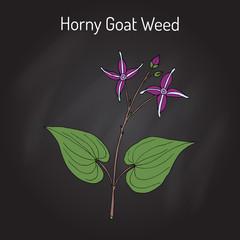 Horny Goat Weed Epimedium sagittatum , medicinal plant