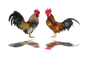 chicken bantam isolated on white background
