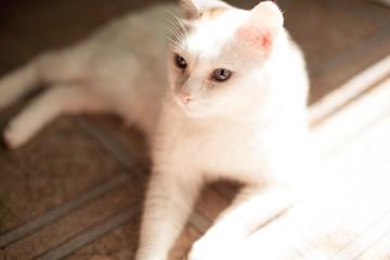 white cat basking in the sun