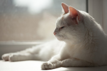 white cat basking in the sun