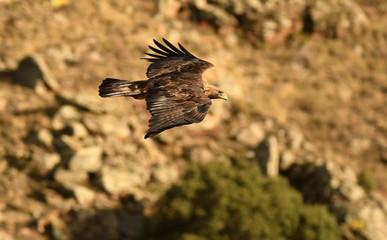Aguila real volando en el cortado