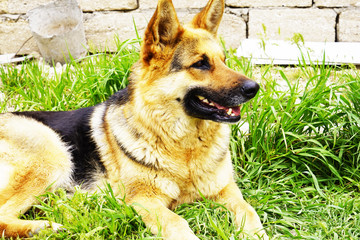 beautiful red black German shepherd