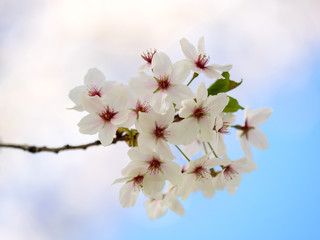 Cherry tree in full bloom, on a blue sky background, selective focus