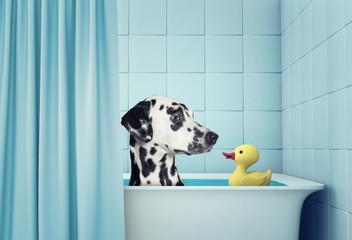 cute dalmatian dog in the bath