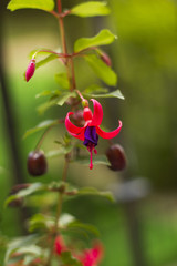 Fuchsia violet flower in garden soft focus