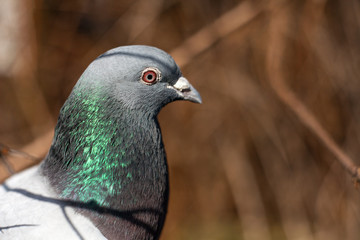 Portrait of a pigeon made close up.