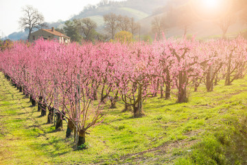 Beautiful orchard with fruit trees in spring blossom