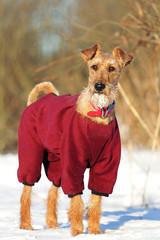 Irish terrier on a walk