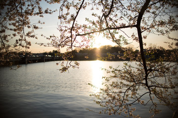 Cherry Blossoms at Sunset next to Lake