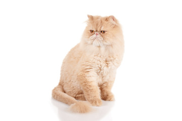 Cream color persian cat sitting and looking to the side with surprised muzzle
