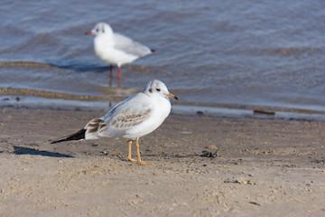 A Seagull walks on the beach