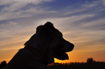 red-white dog sitting on a green field, green grass. Animal portrait. Background of the sunset.