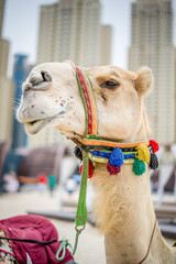 Arabian camel head close up