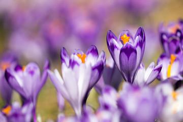 Obraz Piękne fioletowe krokusy - fototapety do salonu