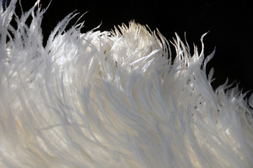 White ostrich feathers fan background