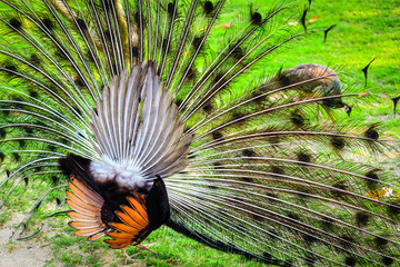 The tail and wings of the male peacock.