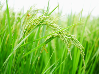 Green rice field background.