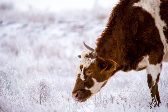 Cow grazing in steppes in winter despite a snow
