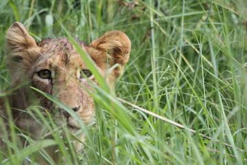 Lionceau se cachant dans les fourrés