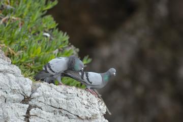 Piccione selvatico (Columba livia) coppia in corteggiamento