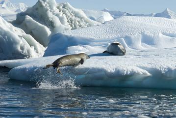 Fototapeta premium Crabeater seals jump on the ice.