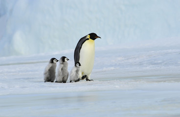 Tuinposter Pinguin Emperor Penguin with chick