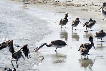 Gruppe Pelikane am Strand,