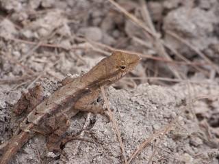 lagarto pequeño