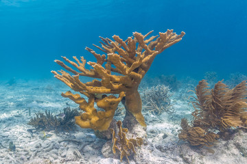 coral reef with elhorn coral