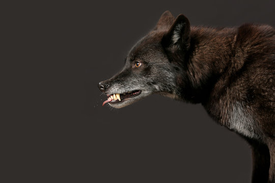 Schwarzer Wolf fletscht die Zähne als Studioaufnahme