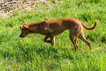 Türaufkleber Hund Podenco Canaria
