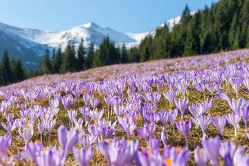 Obraz Crocuses. Tatras mountains. Mountain landscape - fototapety do salonu