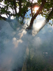 Photo of an apple tree covered in smoke