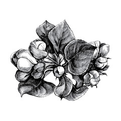 Graphic drawing pen and ink: a branch of a blossoming Apple tree in spring.