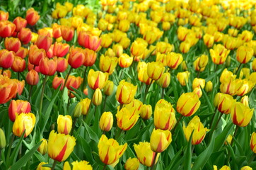 Yellow tulips in the Keukenhof park in Netherlands