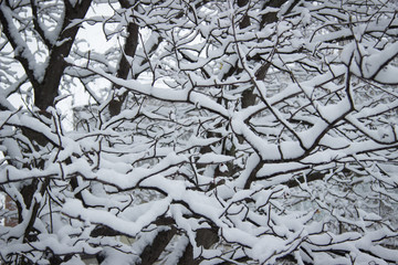 A branches under snow