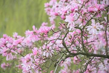 Ast einer rosa sternförmigen Magnolie (Magnolia Loebneri, Leonard Messel) vor grünem Hintergrund