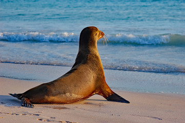 Sea lion pup gazing towards the open ocean on a Galapagos beach