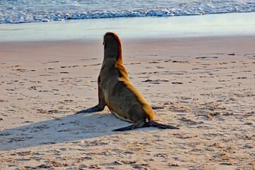 sea lion pup gazing towards the ocean on Galapagos beach