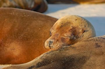 sea lion warming up in the afternoon sun, Galapagos, Ecuador