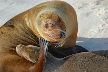 close up of sea lion scratching on Galapagos beach