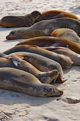 line of sea lions sunbathing on a Galapagos beach