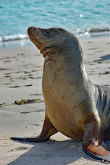 portrait of sea lion with ocean background on a Galapagos beach