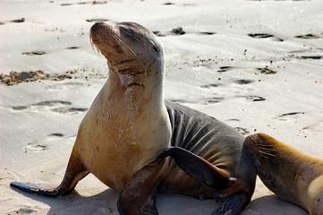 Galapagos sea lion at the beach