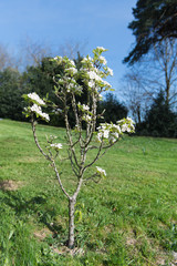Pear tree with blossom