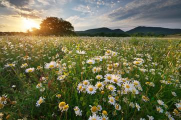 In de dag Madeliefjes Spring daisy flowers in meadow.