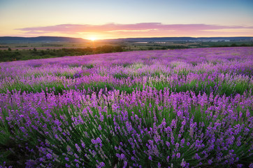 Wall Mural - Meadow of lavender.
