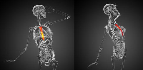 3d rendering medical illustration of the breast bone