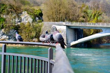 Tauben auf dem Ufer vom Fluss,Bach